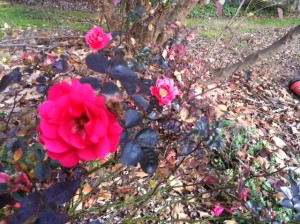 Roses and Azaleas blooming in DC-area garden, late Dec 2015
