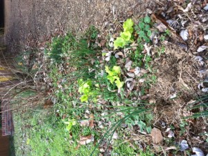 Lettuce growing in DC-area garden. late Dec 2015